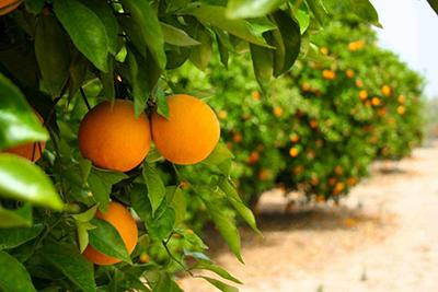Almacén de naranjas
